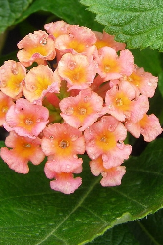 Little Lucky Peach Glow Lantana - 2.5 Quart Pot