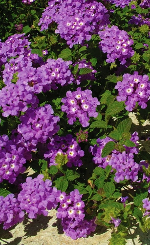 Luscious Grape Lantana - 5 Pack of Pint Pots