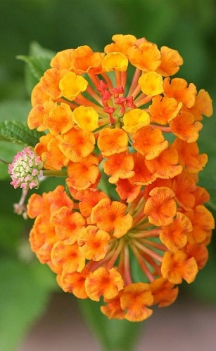 Luscious Marmalade Lantana - 5 Pack of Pint Pots