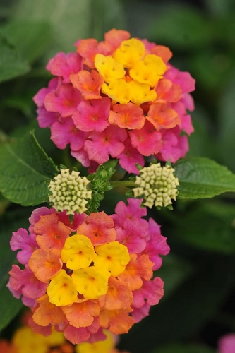 Sonset Hardy Lantana - 1 Gallon Pot