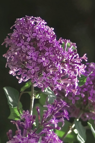 Bloomerang Dark Purple Lilac - 3 Gallon Pot
