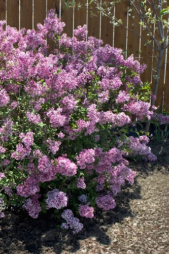 Bloomerang Purple Lilac