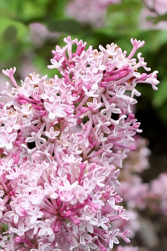 Scent and Sensibility Pink Lilac (Syringa) - 3 Gallon Pot