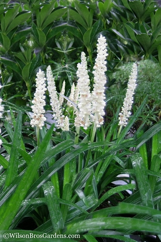 Monroe's White Liriope - Lilyturf - 3 Pack of Pint Pots