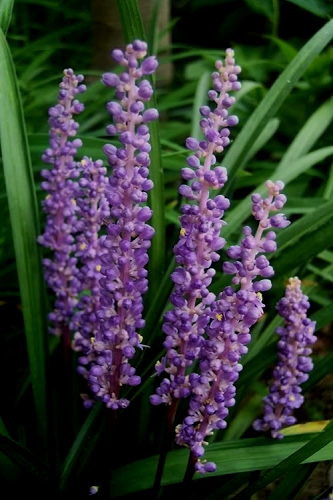 Royal Purple Liriope - Lilyturf - 3 Pack of Pint Pots
