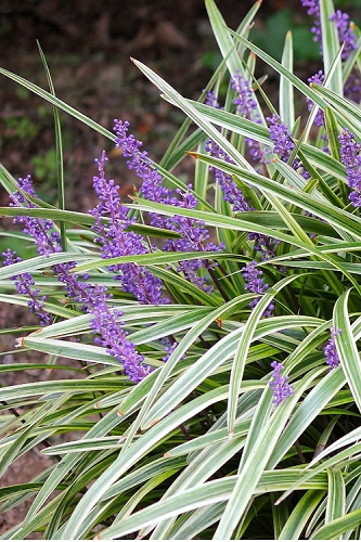 Variegated Liriope - Lilyturf - 18 Count Flat of 4