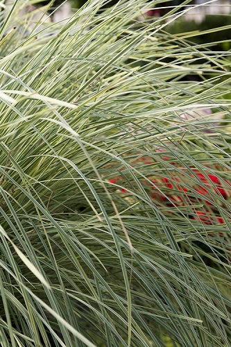 Platinum Beauty Lomandra