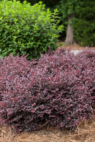 Buy Purple Pixie Loropetalum Free Shipping 1 Gallon