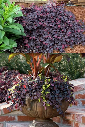 Purple Pixie Loropetalum - Dwarf Chinese Fringeflower