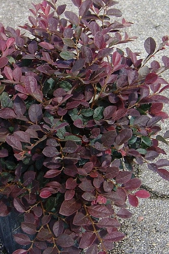 Ruby Loropetalum - 3 Gallon Pot