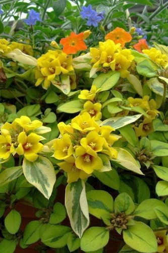 Waikiki Sunset Lysimachia - 5 Pack of Quart Pots