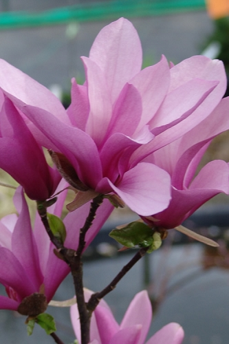Jane Magnolia - Tulip Tree