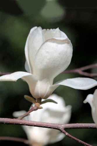 Kobus Japanese Magnolia - 2 Gallon Pot