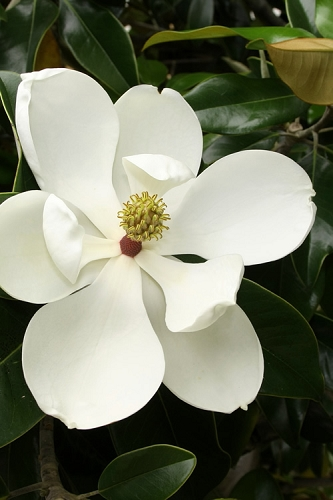 Little Gem Dwarf Southern Magnolia - 3 Gallon Pot