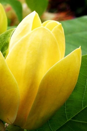Yellow Bird Magnolia - Tulip Tree