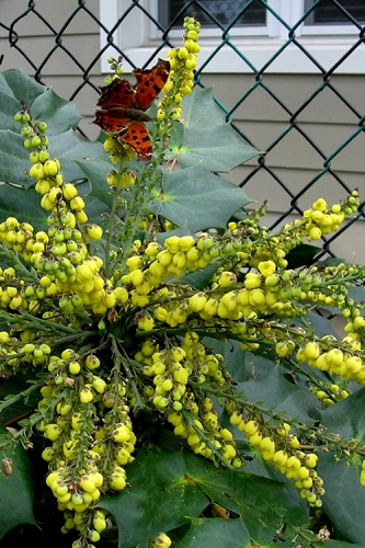 Grapeberry Leatherleaf Mahonia