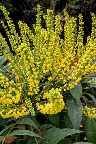 Marvel Mahonia - 3 Gallon Pot