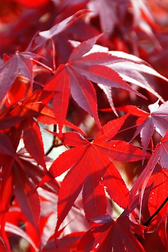 Red Japanese Maple - Acer palmatum