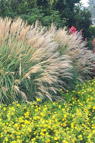Adagio Dwarf Maiden Grass (Miscanthus sinensis) - 6-Pack of 1 Gallon Pots