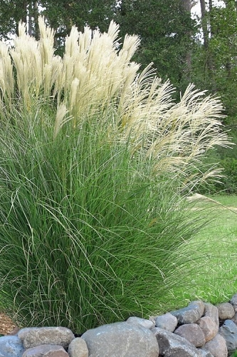 buy little zebra grass miscanthus for sale online from. Black Bedroom Furniture Sets. Home Design Ideas