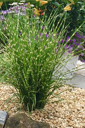 Porcupine Grass - Miscanthus sinensis 'Strictus' - 6 Pack of 1 Gallon Pots