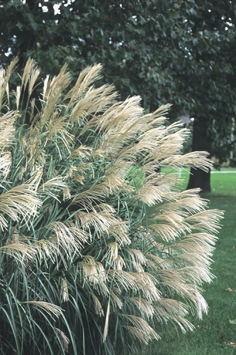 Silver Feather Maiden Grass - Miscanthus sinensis 'Silberfeder' - 6 Pack of 1 Gallon Pots