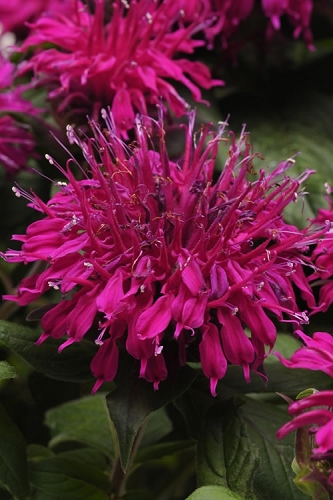 Balmy Purple Monarda - Bee Balm - 2.5 Quart Pot