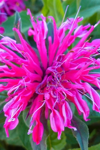 Balmy Rose Monarda - Bee Balm - 2.5 Quart Pot