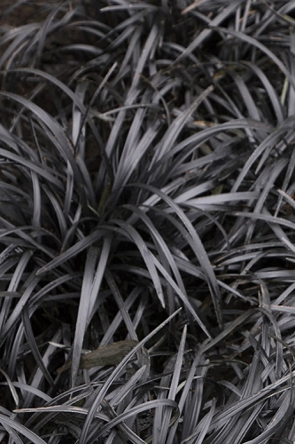 Black Mondo Grass - Ophiopogon planiscapus 'Nigrescens' - 18 Count Flat of Pint Pots