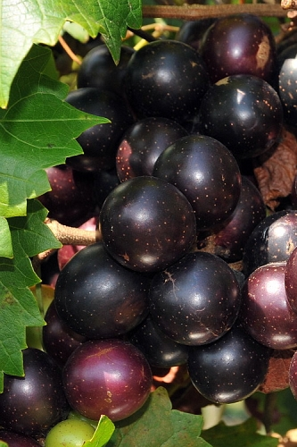 Bountiful Black Muscadine Grape Vine - 1 Gallon Pot