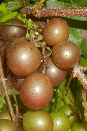 Carlos Bronze Muscadine Grape Vine - 1 Gallon Pot