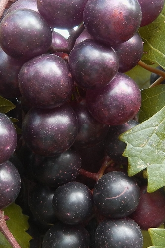 Creek Black Muscadine Grape Vine - 1 Gallon Pot