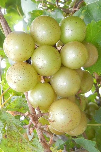 Doreen Bronze Muscadine Grape Vine - 1 Gallon Pot