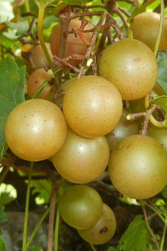 Hall Bronze Muscadine Grape Vine - 1 Gallon Pot