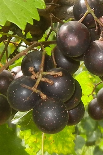 Hunt Muscadine Grape Vine - 1 Gallon Pot