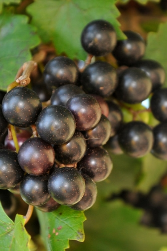 Noble Muscadine Grape Vine - 1 Gallon Pot
