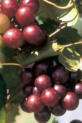 Scarlett Muscadine Grape Vine - 1 Gallon Pot