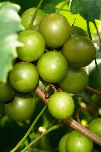 Scuppernong Bronze Muscadine Grape Vine - 1 Gallon Pot