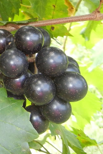 Southland Muscadine Grape Vine - 1 Gallon Pot