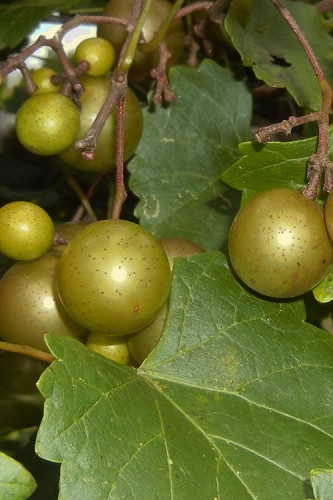Summit Muscadine