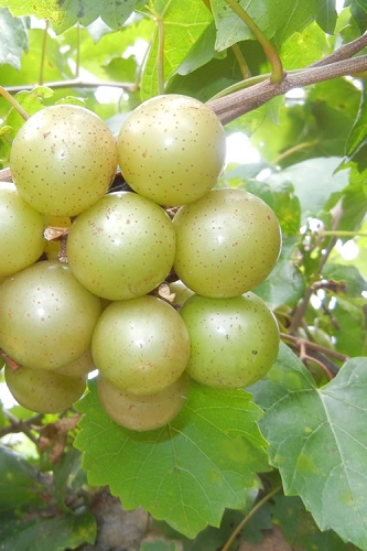 Tara Muscadine Grape Vine - 1 Gallon Pot