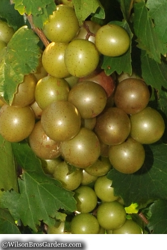 Welder Bronze Muscadine Grape Vine - 1 Gallon Pot