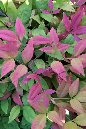 Blush Pink Nandina - 2 Gallon Pot