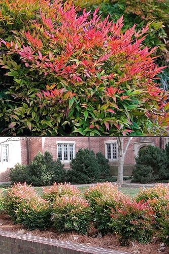 Gulf Stream Nandina - 3 Gallon Pot