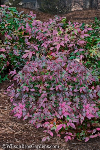 Harbor Belle Dwarf Nandina - 1 Gallon Pot