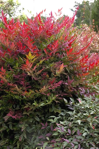 Obsession Nandina - 1 Gallon Pot