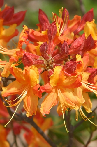 Florida Flame Native Azalea - Rhododendron austrinum - 3 Gallon Pot