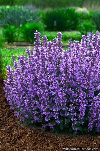 Cat's Pajamas Catmint - 1 Gallon Pot