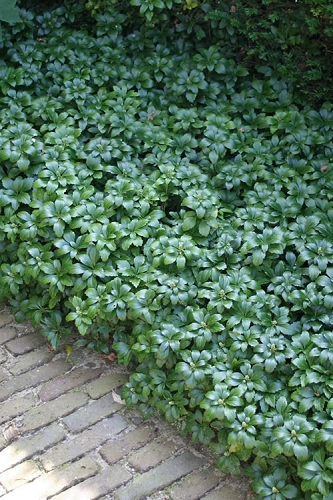 Green Carpet Pachysandra - Japanese Spurge - 18 Count Flat of Pint Pots