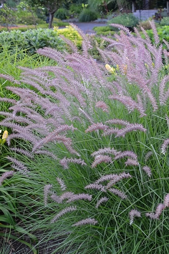Karley Rose Fountain Grass - Pennisetum orientale - 2 Gallon Pots